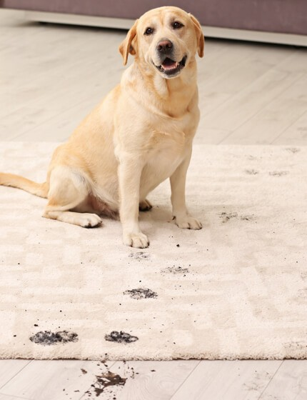 mud stain on rug by dog | Great Western Flooring Co.